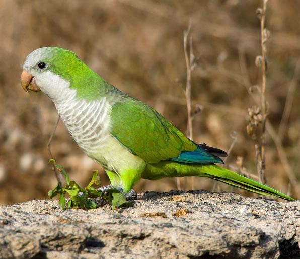 KALUĐERICA ili monah papagaj (Myiopsitta Monachus)